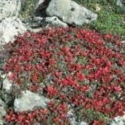 Bearberry (Arctostaphylos uva-ursi) fall colors